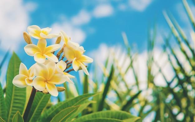 Plumeriabloemen die tegen de hemel bloeien.