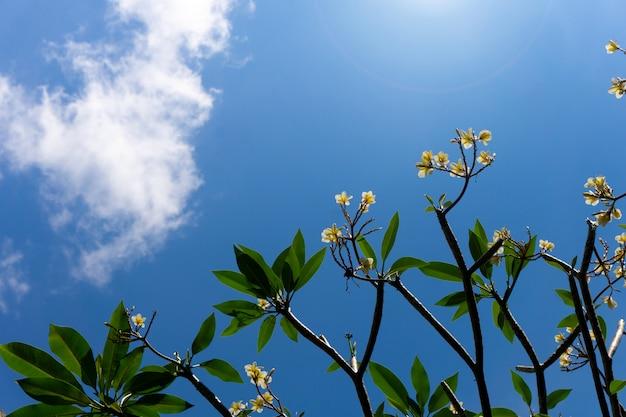 Plumeriabloemen en blauwe hemelachtergrond