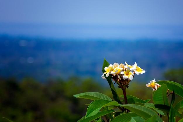 Plumeriabloemen, mooie plumeriabloemen verbazingwekkende thaise leelawadee-bloemen op een mooie bergachtergrond.