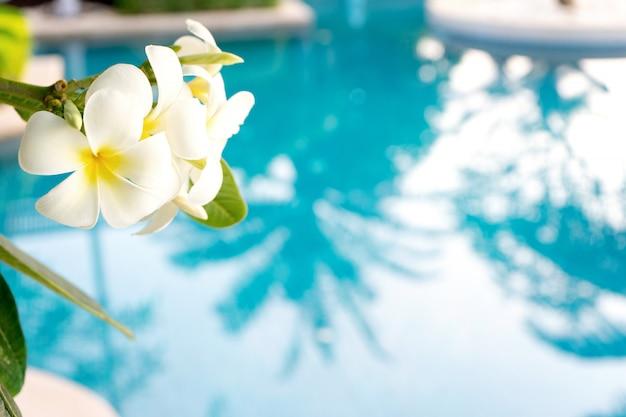 Plumeriasbloem op zwembad