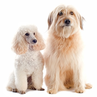 Poedel en pyrenean herdershond op wit