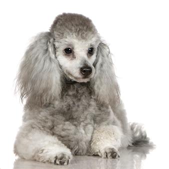 Poedel met 13 maanden. geïsoleerd hondportret