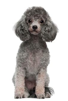 Poedel met 4 jaar oud. geïsoleerd hondportret