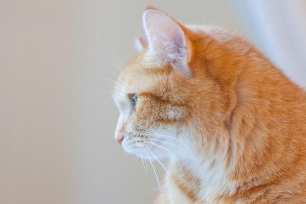 Poetraid van oranje gemberkat thuis. grappige rode kat in een gezellige huiselijke sfeer. denkende tabby gemberkat. op zoek naar gemberkat, zittend op de huisstoel.