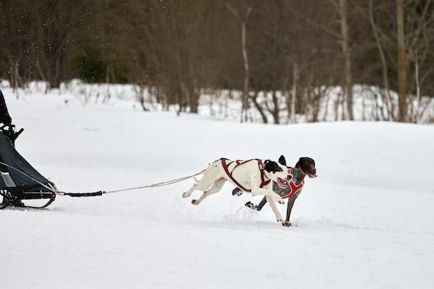 Pointer hond op sledehonden racen. winterhondensport slee teamcompetitie