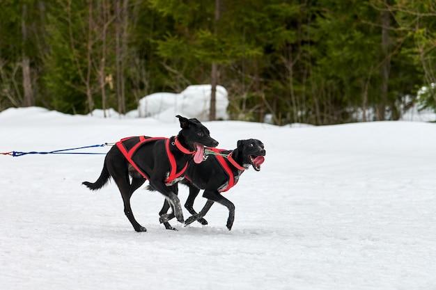 Pointer hond op sledehonden racen