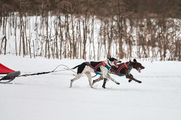 Pointer-honden rennen op sledehondenraces