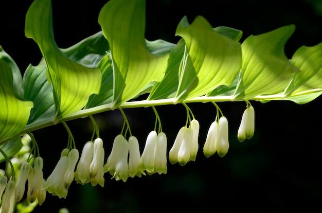 Polygonatum odoratum in bloei, inheemse euraziatische soorten die in de traditionele geneeskunde worden gebruikt
