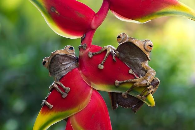 Polypedates otilophus zittend op rode knoppen polypedates otilophus vooraanzicht dierlijke close-up