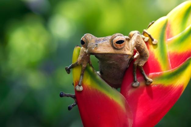Polypedates otilophus zittend op rood