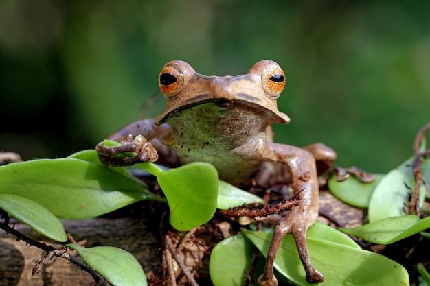 Polypedates otylophus, eared boomkikker op de tak