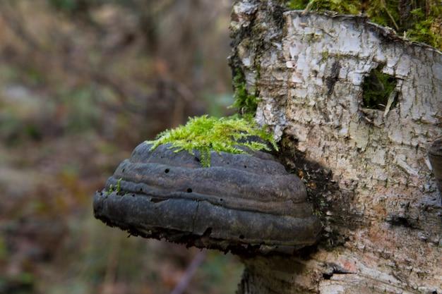 Polyporus dunne laag over de andere paddenstoelspecifieke soort op een dode boomstam Premium Foto