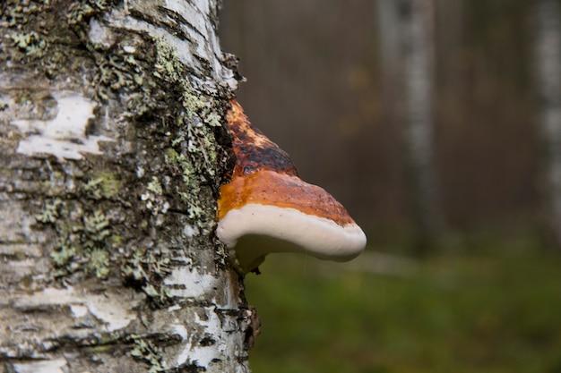 Polyporus dunne laag over de andere paddenstoelspecifieke soort op een dode boomstam