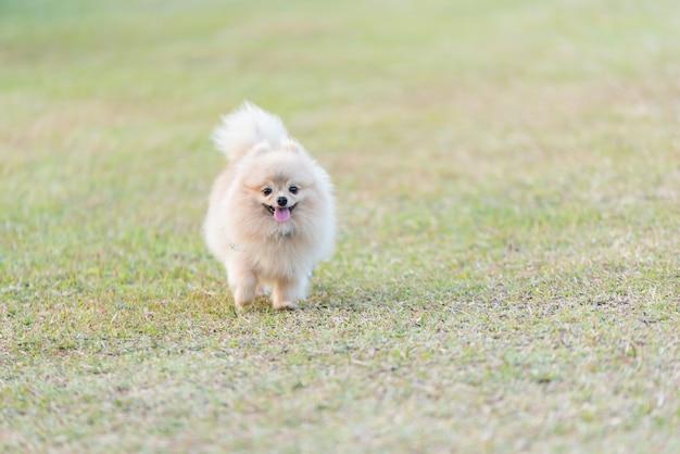 Pomeranian die op het groene gebied loopt