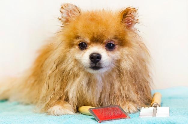 Pomeranian-hond het verzorgen in salon
