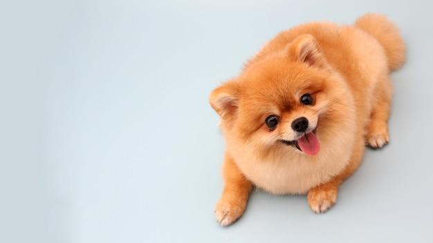 Pomeranian-hond op blauw