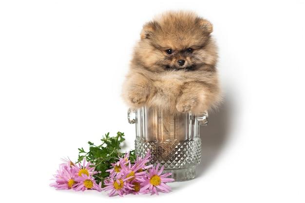 Pomeranian puppy in een glazen vaas