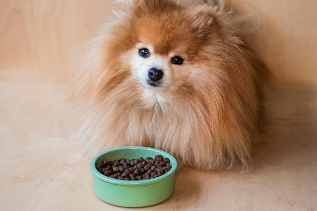 Pomeranian spitz eet. huisdier droogvoer in een keramische groene kom op pastel blauw licht met hondenpoten, pluizige benen.