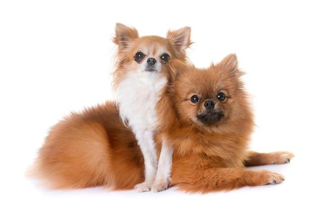 Pomeranian spitz en chihuahua