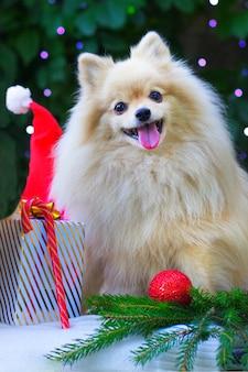 Pomeranian spitz-hond in een kerstsfeer