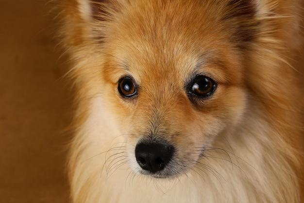 Pomeranian spitz hond op bruine achtergrond