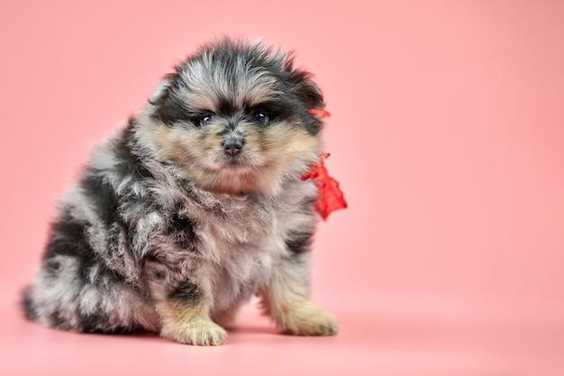 Pomeranian spitz-puppy, exemplaarruimte. leuke pluizige driekleurige spitz-hond op roze achtergrond. gezinsvriendelijke kleine dwarf-spitz pom-hond.