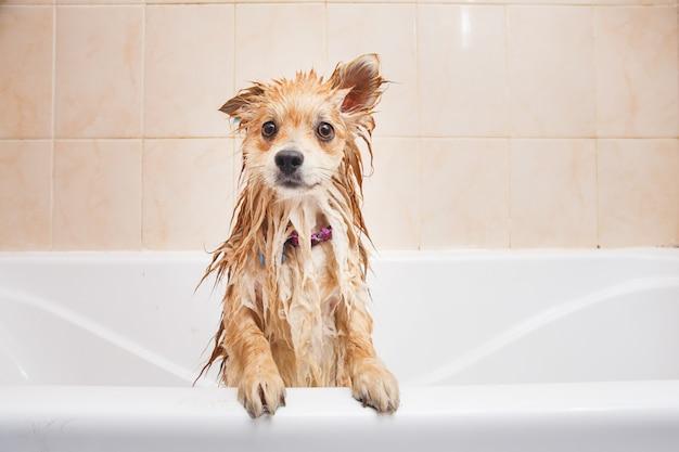 Pomeranianhond in de badkamersspitz hond in het wasproces met shampoo dichte omhooggaand