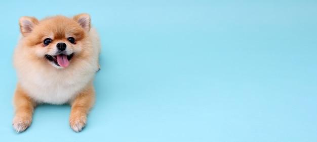 Pomeranianhond met blauwe achtergrond.