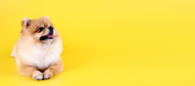 Pomeranianhond met gele achtergrond.