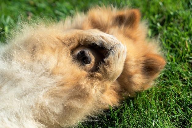 Pommeren met gele vacht die op het gras op zijn rug ligt
