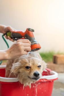 Pommeren of klein hondenras werd door de eigenaar onder de douche genomen en stond in een rode emmer die op een betonnen vloer werd geplaatst