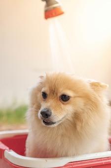 Pommeren of klein hondenras werd door de eigenaar onder de douche genomen en stond in een rode emmer