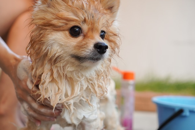 Pommeren of klein hondenras werd gedoucht door de eigenaar