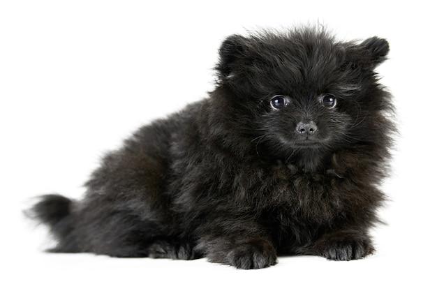 Pommeren puppy spitz, geïsoleerd. schattige zwarte pommeren