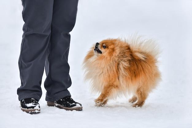Pommeren spitz hond, mooie kleine hond, winter buiten achtergrond. spitz loopt met eigenaar.