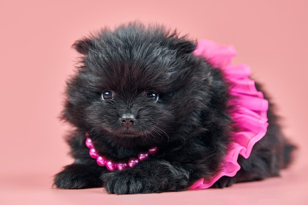 Pommeren spitz puppy. leuke donzige zwarte spitz hond in rok met kralen op roze achtergrond. gezinsvriendelijke kleine dwarf-spitz pom-hond.