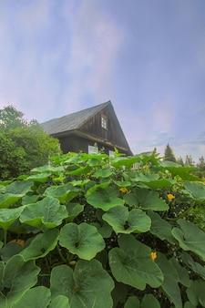 Pompoenen met grote bladeren die groeien in een tuin met een oud landelijk huis op de achtergrond.