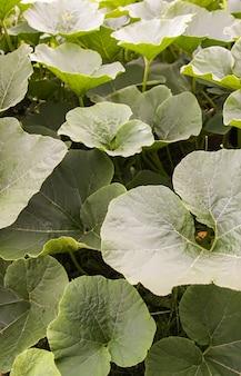 Pompoenen met grote bladeren die in een tuin groeien