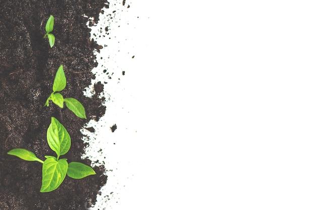 Pompoenzaailingen groeien uit de grond. landbouw plant zaaien groeiende stap concept.