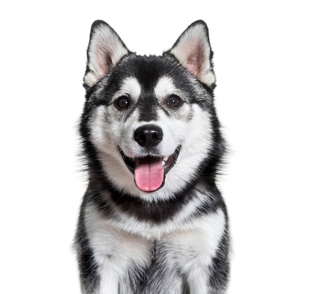 Pomsky hond hijgend tegen wit oppervlak