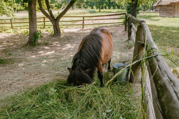 Pony eet hooi in de paddock
