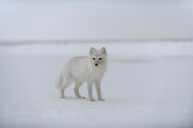 Poolvos in de winter in siberische toendra