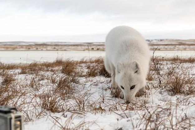 Poolvos (vulpes lagopus) in de winter in siberische toendra en actiecamera