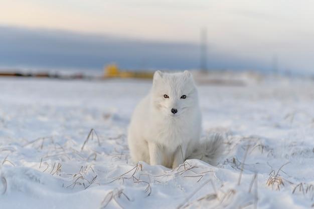 Poolvos (vulpes lagopus) in de winter in siberische toendra met industriële achtergrond.