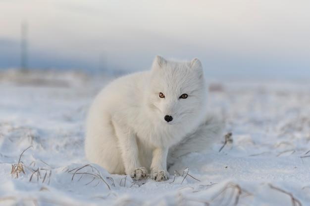 Poolvos (vulpes lagopus) in de winter in siberische toendra