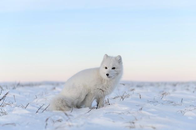 Poolvos (vulpes lagopus) in wilde toendra. witte poolvos zitten.
