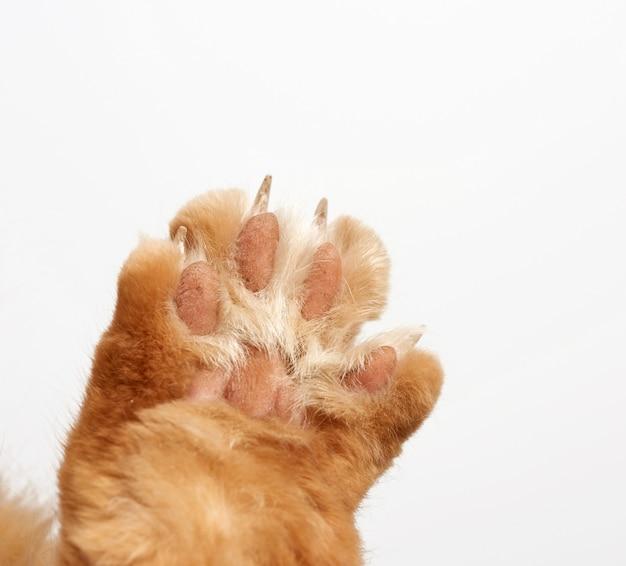 Poot van een rode kat met klauwen op een witte achtergrond
