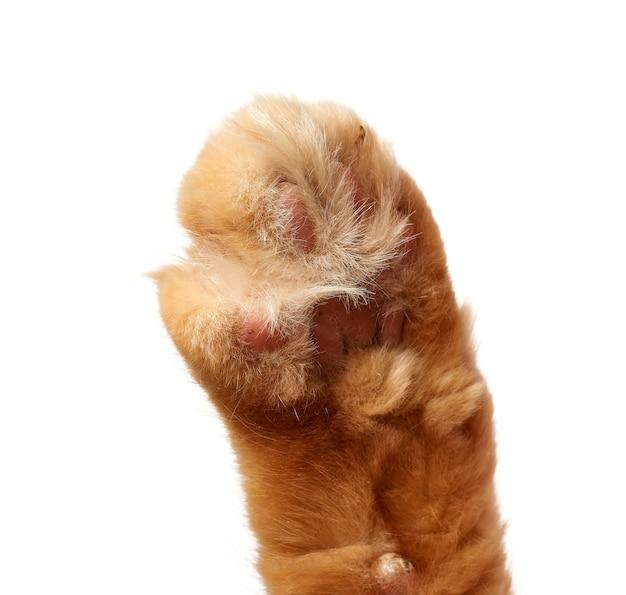 Poot van een rode kat met klauwen op een witte ruimte,
