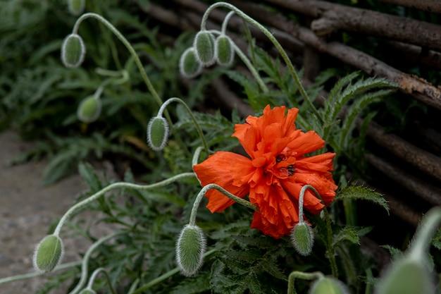 Poppy bloem bloeide in de buurt van gevlochten hek