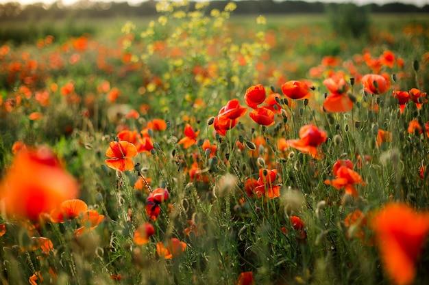 Poppy veld close-up, bloeiende wilde bloemen in de ondergaande zon. rode groene achtergrond, leeg, behang met zachte focus.